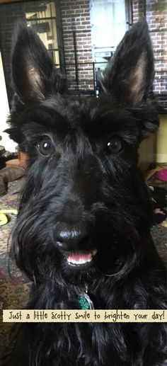 This is my baby Luna! Scottish Terrier Puppy, Cairn Terrier, Terrier Dogs, Bull Terriers, I Love Dogs, Puppy Love, Cute Dogs, Beautiful Dogs, Animals Beautiful