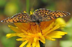 https://flic.kr/p/Hz4YqJ | Veldparelmoervlinder  .....Melitaea cinxia  .....  rare in the Netherlands. | Op deze prachtige zomerse dag in de auto gestapt en op naar de Bemelerberg bij Maastricht !! Het leefgebied van de in Nederland zeldzame Veldparelmoervlinder en zoals jullie zien heb ik hem gelukkig gespot !!