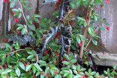 Begonias: hardy & vibrant   FineGardening