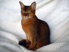 Abyssinian Cat New Zealand