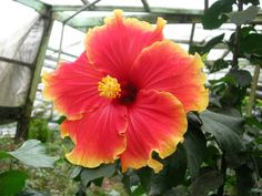 Huge hibiscus!! Yeap I took this with a digi cam...not DSLR
