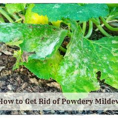 Greneaux Gardens: How to get rid of powdery mildew...ewww