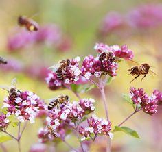 ~ Ohne Bienen keine Biodiversität. Von Blumen und Bienen – Deutsche Umwelthilfe e.V. ~ Buzzy Bee, Bee Friendly, Save The Bees, Bees Knees, Backyard Landscaping, Garden Plants, Butterflies, Honey, Candles