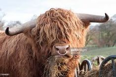 Image result for highland cow