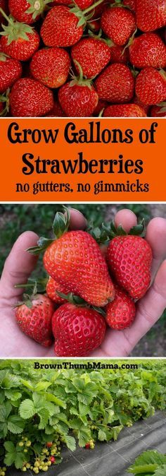 Strawberries are super-easy to grow using these important tips. Here's everything you need to know to grow gallons of strawberries in your garden. #LandscapingTips&Tricks