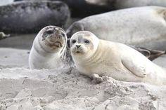 gray seals - Helgoland Island, north Germany