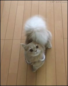 CAT GIF • Amazing squirrel Cat with huge fluffy tail is hungry standing up begging for food