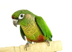 A lovely image of a Green-cheeked Conure for #ConureDay.