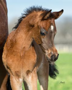 Arabian mare & foal. To ride a horse well you have to know it as well as you know your best friend. http://www.annabelchaffer.com/categories/Equestrian-Gifts/