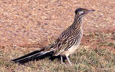 Земляная кукушка (Geococcyx californicus). Моногамна,  оба родителя насиживают кладку и выкармливают кукушат. Гнездо из веточек и сухой травы в кустах или зарослях кактусов с 3 - 9 белыми яйцами.