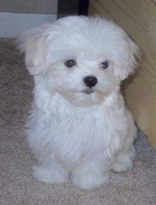 Maltese fell in love with this type of dog after being with Michael's dog