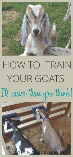 easily train your goats, make chore time easier! Not only is it easy to train your goats but necessary if you want chore time to be a breeze! via only is it easy to train your goats but necessary if you want chore time to be a breeze! Keeping Goats, Raising Goats, Goat Playground, Playground Ideas, Goat Shelter, Animal Shelter, Goat Pen, Goat House, Goat Care