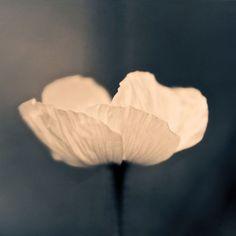 'BRIGHT' von joshi bei artflakes.com als Poster oder Kunstdruck $16.63 #Fotografie #closeup #close #nah #Makro #Mohn #Mohnblüte #Makrofotografie #Blüte #Blume #Flower #flowers #nature #Natur #Naturliebhaber #naturelovers #detail #Schönheit #Textur #Photoshop #dekorativ #fineart #kunstvoll #kunstfotografie