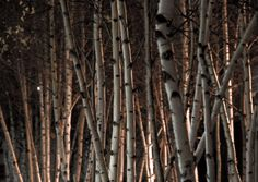 pinterest birch trees at night by flashlight - Yahoo Image Search Results
