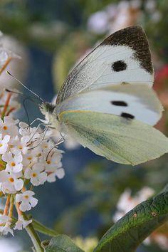 Butterfly by Antony Bagley