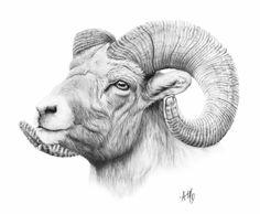 Big Horn Sheep - amysdrawings.com