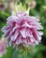 http://www.touchwoodplants.co.uk/aquilegias.htm