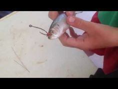 Walleye Fishing with Minnows - How To Hook and Jig Live Bait - YouTube