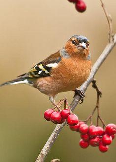 Male Chaffinch (Fringilla coelebs) by Liz Leyden