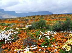 west coast flower tour in cape town south africa book Champs, South Afrika, Destinations, Cape Town South Africa, West Coast, Wild Flowers, Rock Flowers, Fields, Beautiful Places