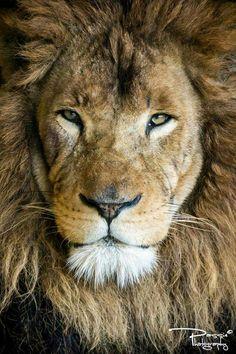 King of the savanna