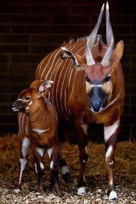 Bongo - antelope calf born at Dublin zoo