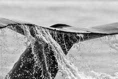 Print of Whale, Wildlife Photography, Nature Photography, Wall Art, Animal Art Print, Fine Art Print, Decor, Nature Print, Alaska, Whale