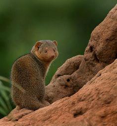 Little mongoose