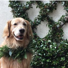 🌿Will you look at Gladys?! Her talented fur mom came to a South Gate Wreath Workshop and created this beautiful pet-friendly wreath. This golden stunner looks fabulous in her Christmas 🌿greenery 😊📸& mom to Gladys...Harriet B. Holliday Thank you for sharing😍Any other dogs out there wearing their Christmas Greenery?