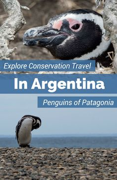 The Magellanic penguins in Punta Tombo are having conservation successes due to the efforts of the Global Penguin Society. Learn about conservation efforts to save the penguins living in Punta Tombo and Puerto Madryn Argentina.