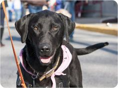 Lacey is an adoptable Black Labrador Retriever Dog in Silver Spring, MD. Lacey is an 18 month old spayed black female. She is up to date on her shots and is heartworm negative. She is good with other ...