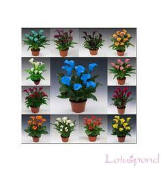 100pcs mix calla seeds, mixed color bonsai flower seeds home gardening