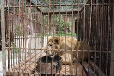 Throughout China, circuses, traveling shows, and roadside zoos force animals—including bears, monkeys, tigers, lions, dogs, and others—to perform … Lions and tigers were forced to balance on balls, roll around on the ground, and stand on their hind legs. Trainers hit, jabbed, and threatened them with long, heavy metal poles, some of which had whips on the ends.