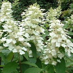 1000 images about hydrangea hortensie on pinterest. Black Bedroom Furniture Sets. Home Design Ideas