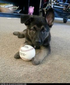 German Shepherd Puppy I Love Dogs, All Dogs, Dogs And Puppies, Cute Dogs, Doggies, Animals For Kids, Cute Animals, Baby Animals, German Shepherd Puppies