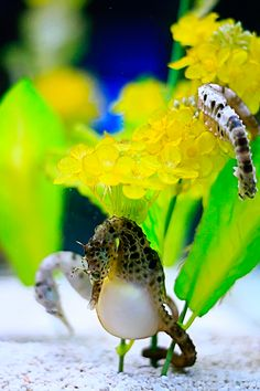 Beautiful Sea Horse --daddy carries the eggs