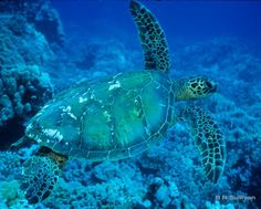 Green Sea Turtle at Puako, Hawaii ~ photo by B N Sullivan for TheRightBlue.com