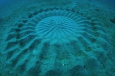 """These """"mystery circles"""" are about 7 feet wide and are made by a 5 inch fish."""