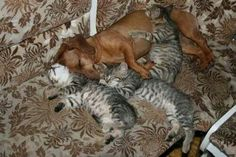 Adorable! Doxies apparently love cats, contrary to popular belief!