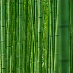 24 Best E Bamboo Images Bamboo Kyoto Japan Nature