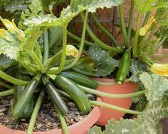 are the 5 best container vegetables for beginning gardeners, plus container gardening tips and tricks for a great harvest.Here are the 5 best container vegetables for beginning gardeners, plus container gardening tips and tricks for a great harvest. Growing Tomatoes Indoors, Growing Vegetables In Containers, Home Grown Vegetables, Container Gardening Vegetables, Planting Vegetables, Growing Plants, Grow Tomatoes, Vegetable Gardening, Fresh Vegetables