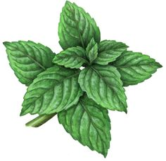 Botanical illustration of a sprig of mint with ten leaves.