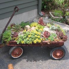 Hens & Chicks from Blossom Wild Herb Lavender Farm in an old red wagon
