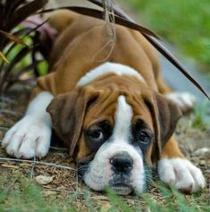 Boxer puppy's melt my heart! <3 reminds me of our old puppy Kingston.