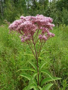 Joe Pye Weed  Its really not a weed and butterflys love it plant in full sun near a drain or downspout if possible it loves damp rich soil  gets quite tall will bloom for you all summer