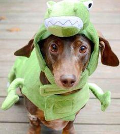 Dachshund In An Alligator Costume Little Dogs Dachshund Hot