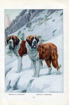 fe46cb7a1d8f Saint Bernard Swiss Mountain Rescue Working Dog San Bernardos