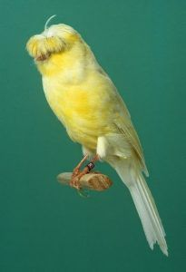 710 Ideas De Canarios En 2021 Canarios Canario Ave Aves