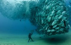 A diver on the seabed in Cabo, New Mexico, works next to a huge shoal of fish who swirl around each other.