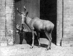 Bubal Hartebeest. Extinct 1923.